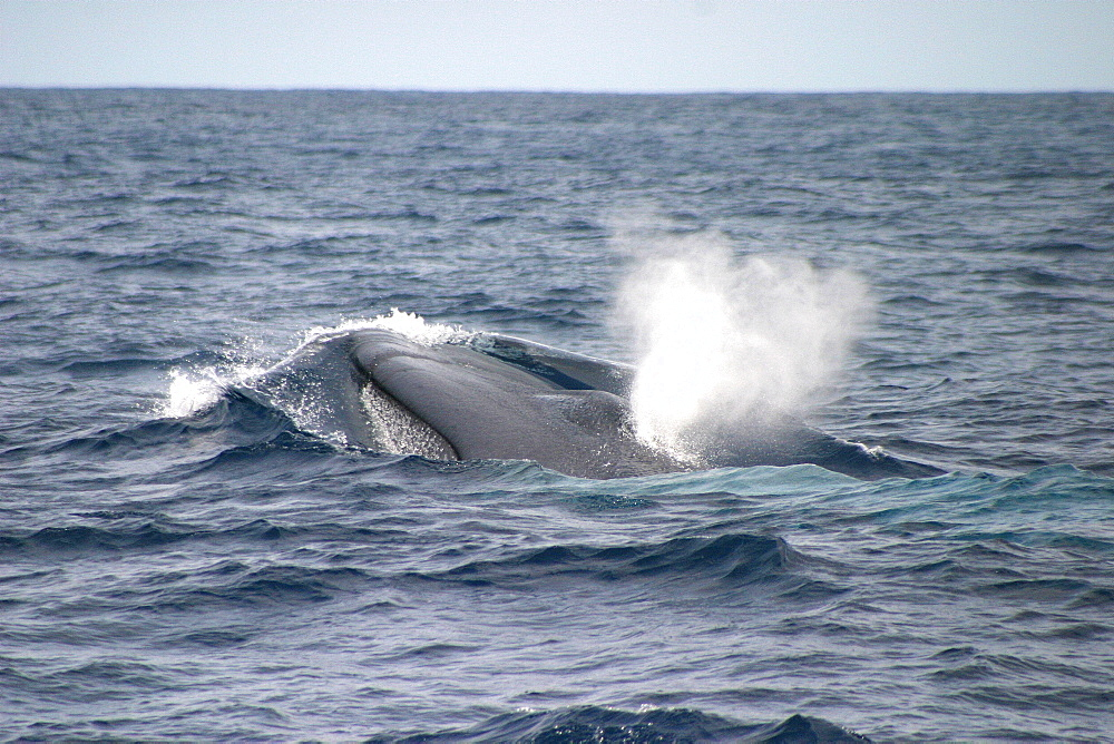 Blue whale (Balaenoptera musculus) surfacing, Azores, Atlantic Ocean   (RR) - 969-192