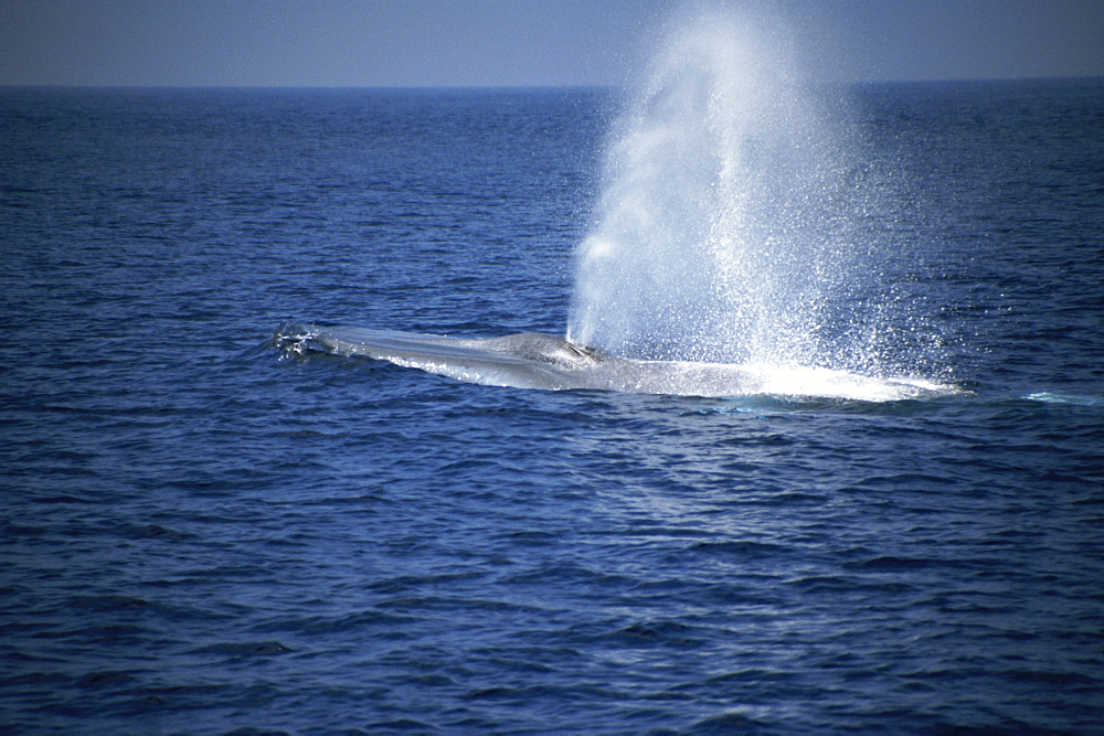 Blue Whale (Balaenoptera musculus) blow. Azores - 969-195