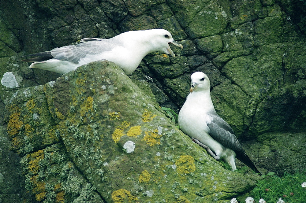 Northern fulmar (Fulmar glacialis) breeding pair on rocks Hebrides, Scotland
