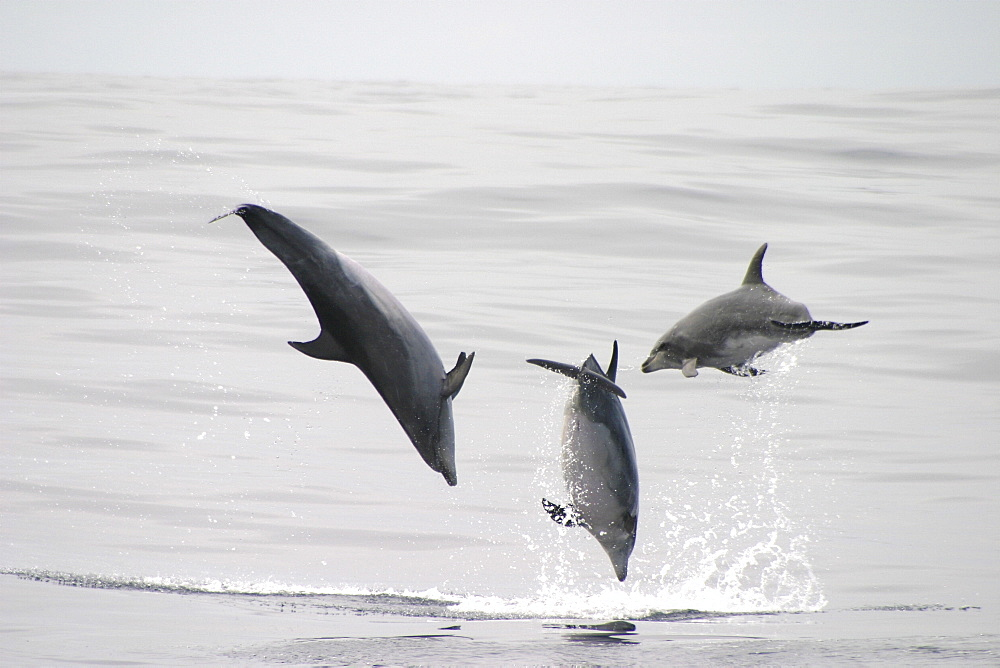 Bottlenose Dolphin, (Tursiops truncatus) leaping trio. Azores   (RR) - 969-20
