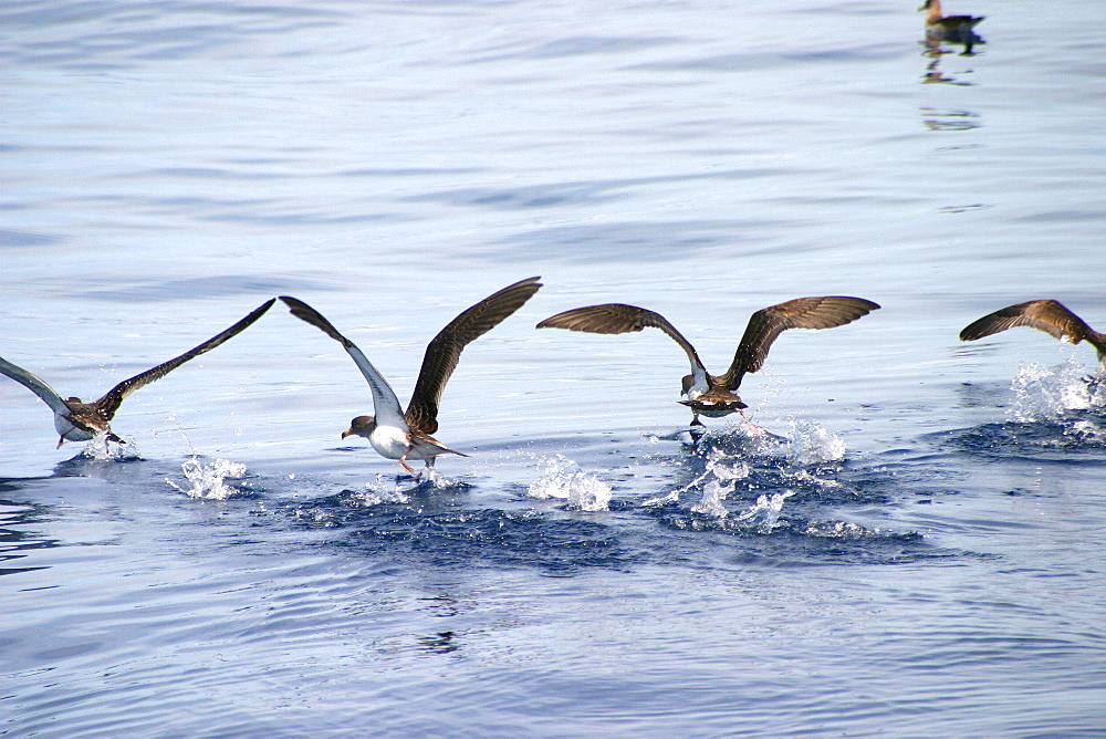 Cory shearwaters taking off from surface (Calonectris diomedea) Azores, Atlantic Ocean   (RR) - 969-202