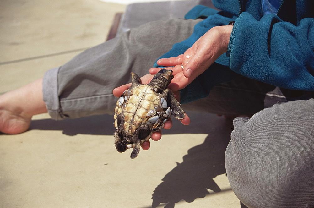 Loggerhead Turtle (Caretta caretta) juvenile with goose barnacles (Pollicipes polymerus). Azores