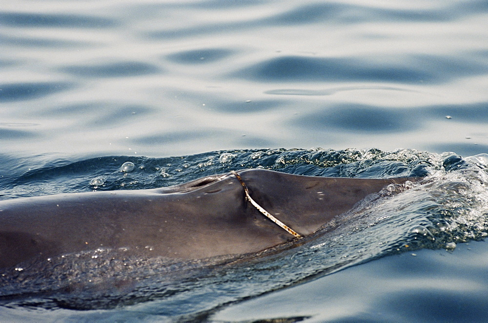 Minke whale (Balaenoptera acutorostrata) with a loup of plastic packing tape stuck in its baleen, round its upper jaw and over its blow hole. Hebrides, Scotland
