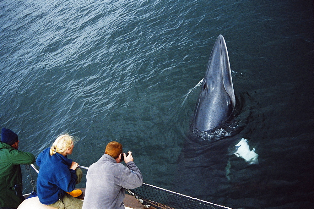 Whale watchers eye to eye with an inquistive Minke whale (Balaenoptera acutorostrata) associating with their boat. Hebrides, Scotland - 969-215