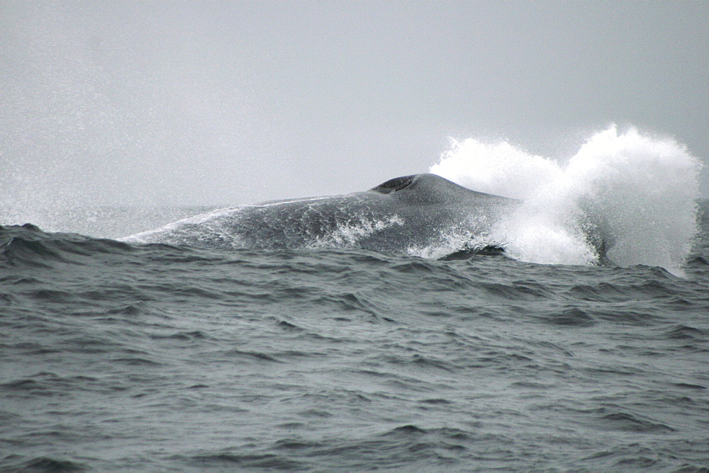Blue whale lunging at the top of a wave off the Azores - 969-233