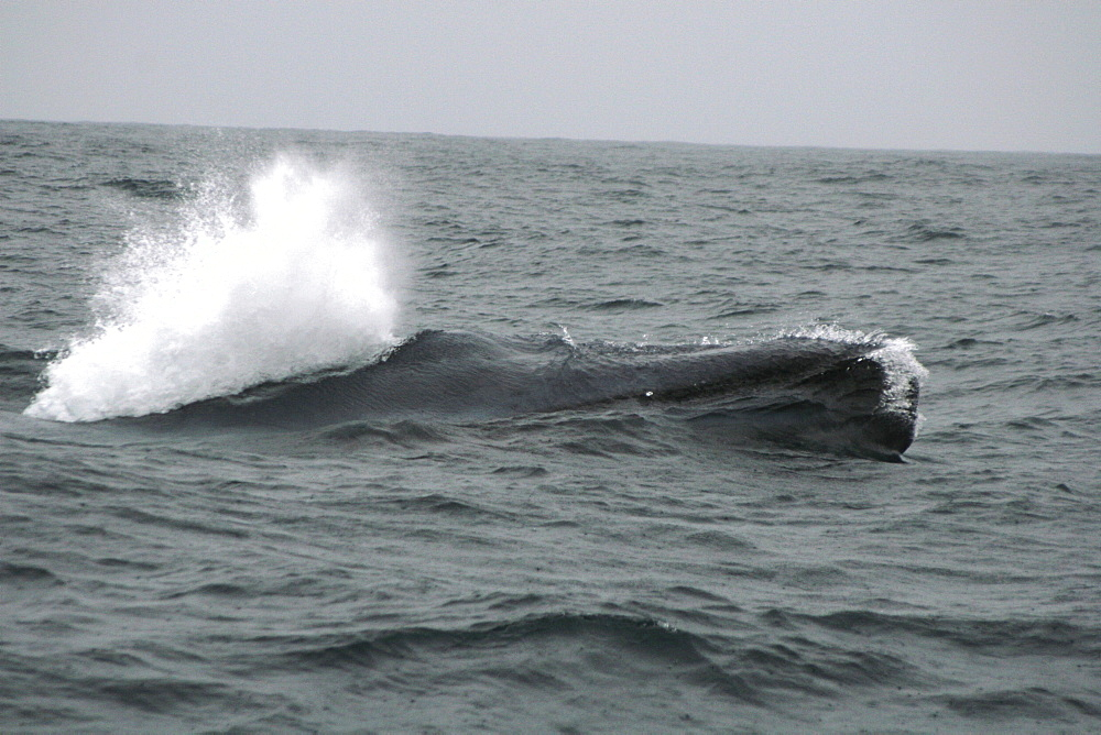 Blue whale just breaking the surface off the Azores with the start of a big blow - 969-234