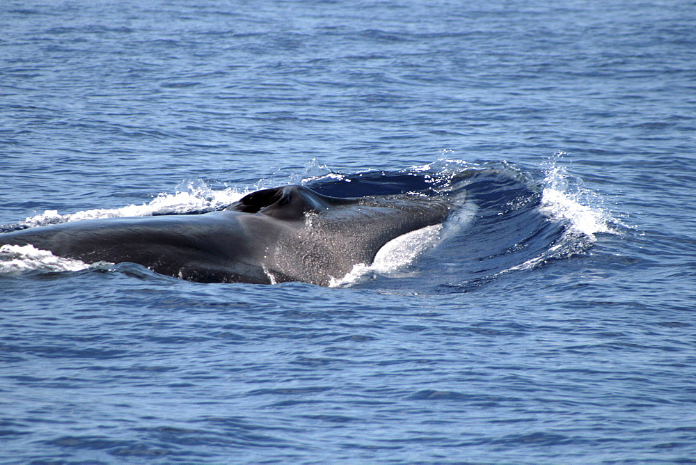 Fin Whale at the surface showing the distinctive white jaw - 969-247