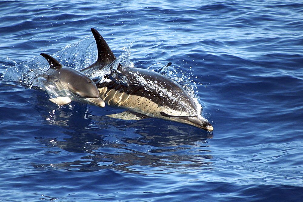 Common Dolphin Mother and Calf at the surface. The Azores - 969-261