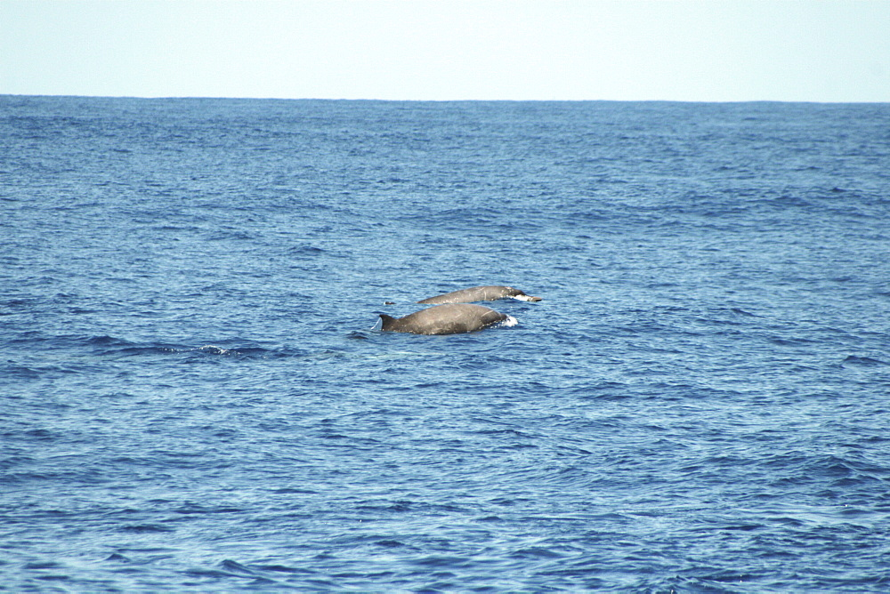 A pair of Sowerby's beaked whales at the surface off the Azores Islands - 969-285