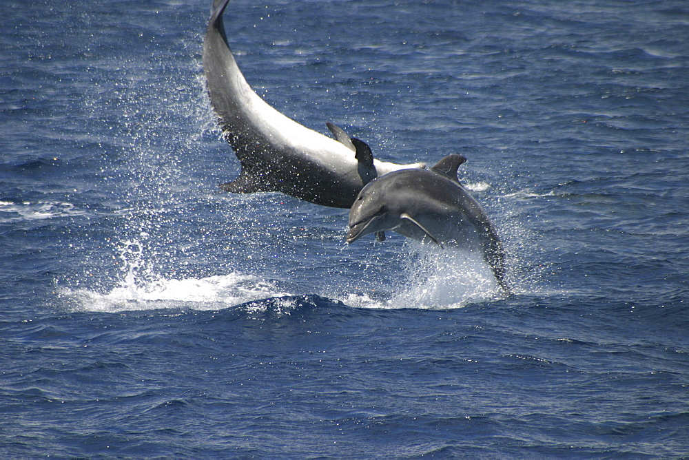 Bottlenose Dolphin, Tursiops truncatus, pair performing acrobatics together at the surface in the Azores   (RR) - 969-29