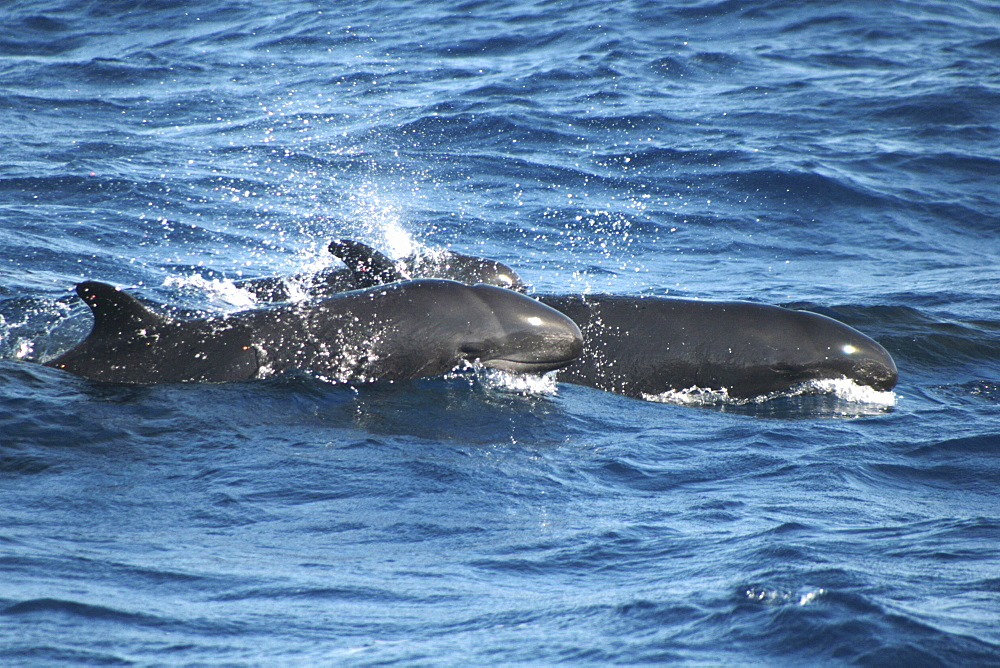 Pair of False Killer Whales at the surface - 969-297