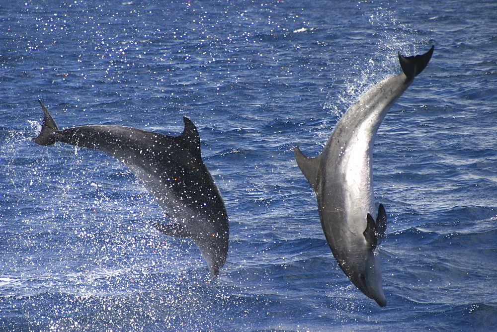Bottlenose Dolphin, Tursiops truncatus, pair performing acrobatics together in the Azores   (RR) - 969-30
