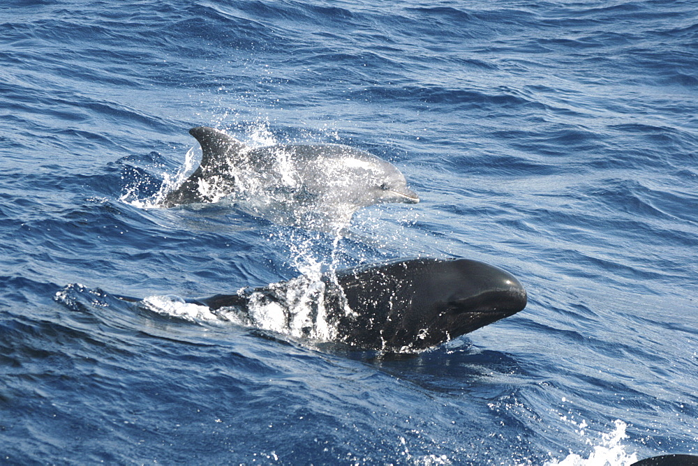 A false killer whale and bottlenose dolphin leaping at the surface together - 969-300