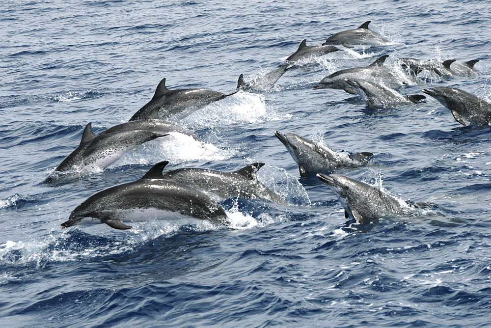 Spotted Dolphin on the move. Azores, North Atlantic - 969-322