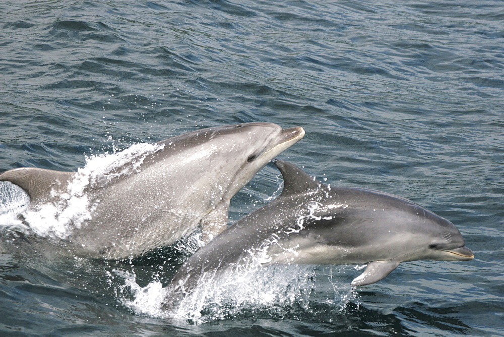 Bottlenose dolphin and calf leaping together at the surface - 969-329