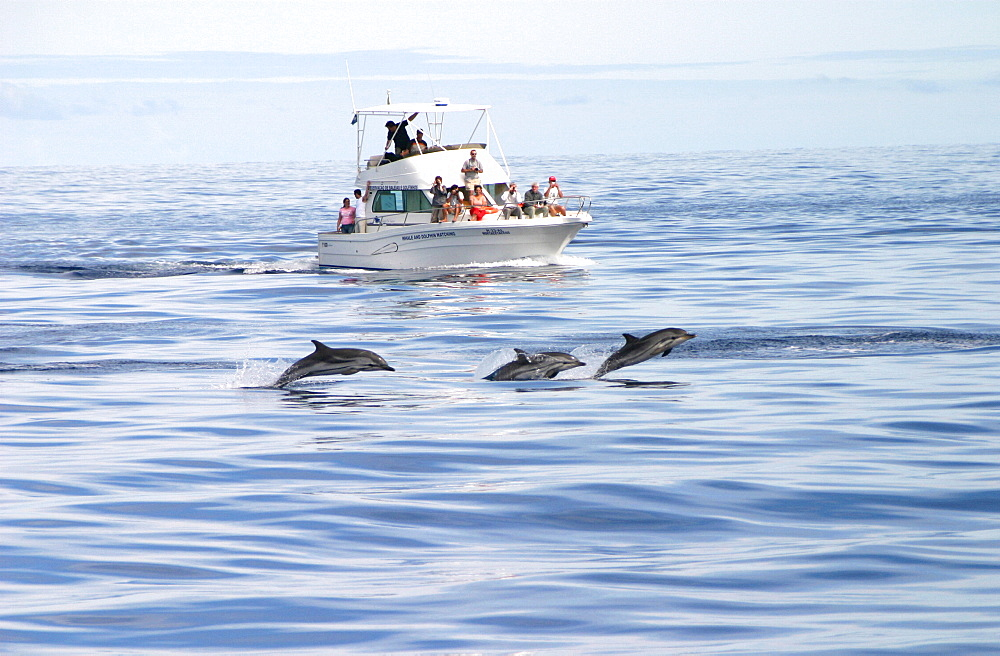Striped dolphins surfacing in front of tourist boat (Stenella coeruleoalba) Azores, Atlantic Ocean   (RR)