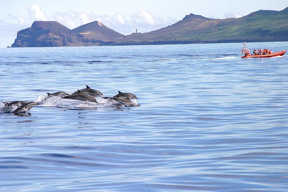 Striped dolphins surfacing near tourist boat (Stenella coeruleoalba) Azores, Atlantic Ocean   (RR)