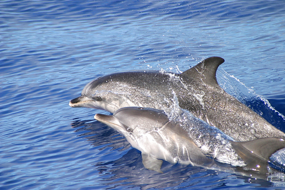 Atlantic spotted dolphins surfacing (Stenella frontalis) Azores, Atlantic Ocean   (RR) - 969-47