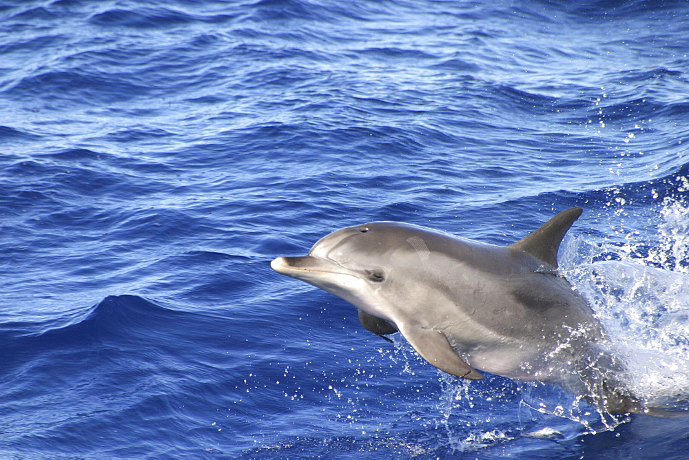 Atlantic Spotted Dolphin, (Stenella frontalis). Azores   (RR) - 969-54