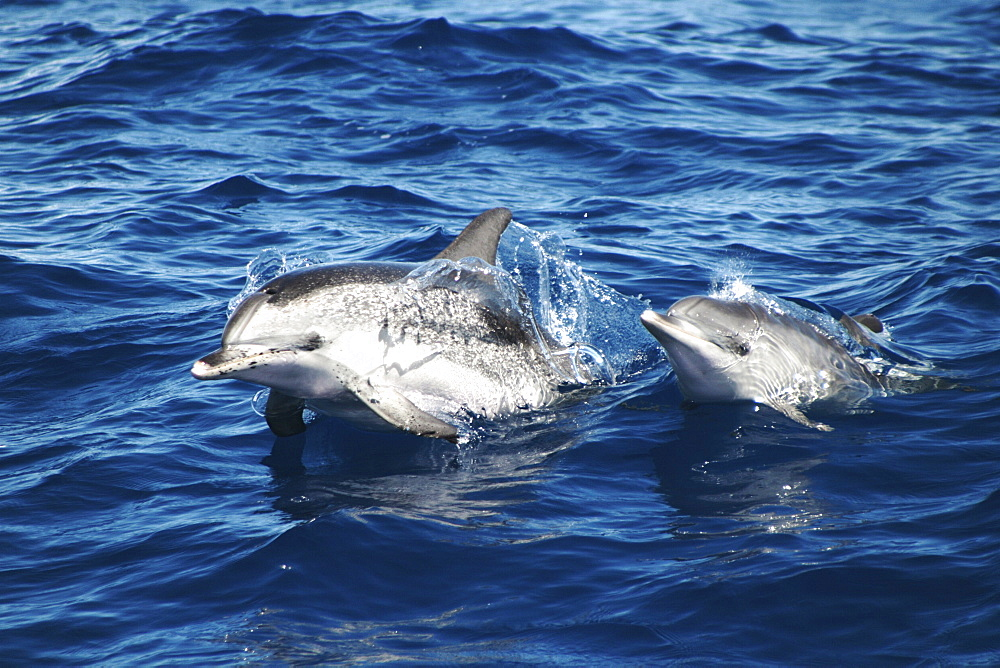 Spotted Dolphin, Stenella frontalis, pair surfacing off the Azores Islands   (RR) - 969-68