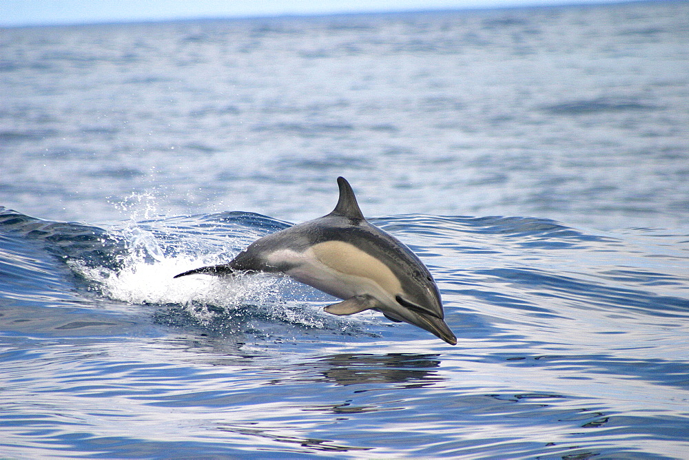 Common dolphin porpoising (Delphinus delphis) Azores, Atlantic Ocean   (RR) - 969-79