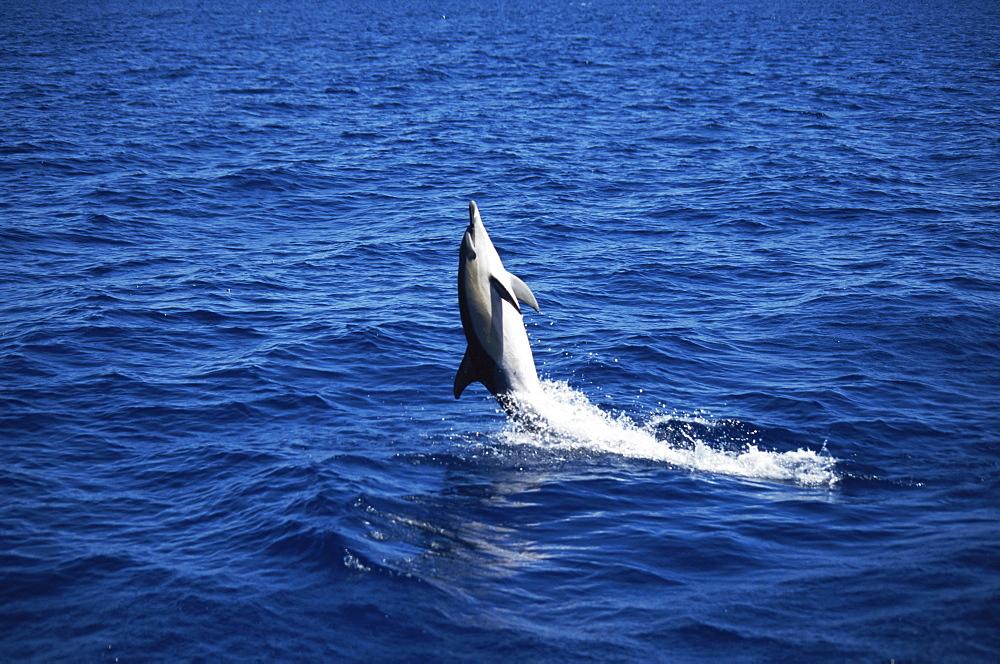 Short-beaked Common Dolphin (Delphinus delphis) back leap. Azores - 969-87