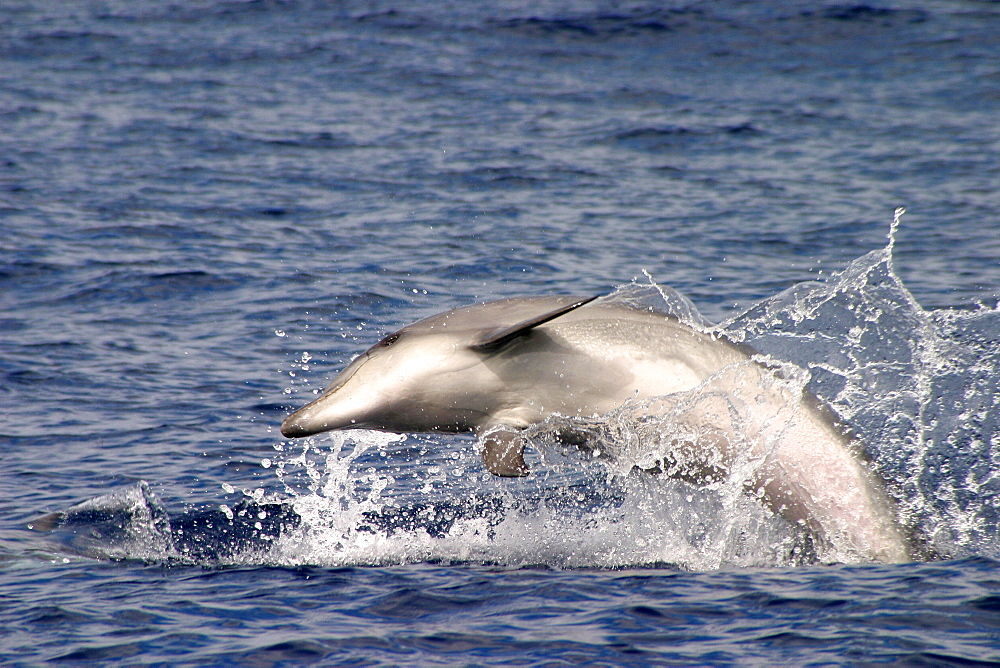 Juvenile Bottlenose dolphin leaping at surface (Tursiops truncatus) note pink belly Azores, Atlantic Ocean   (RR) - 969-9