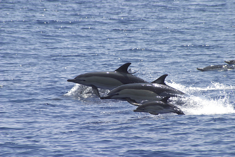 Short-Beaked Common Dolphin, Delphinus delphis, trio leaping off the Azores Islands   (RR) - 969-90