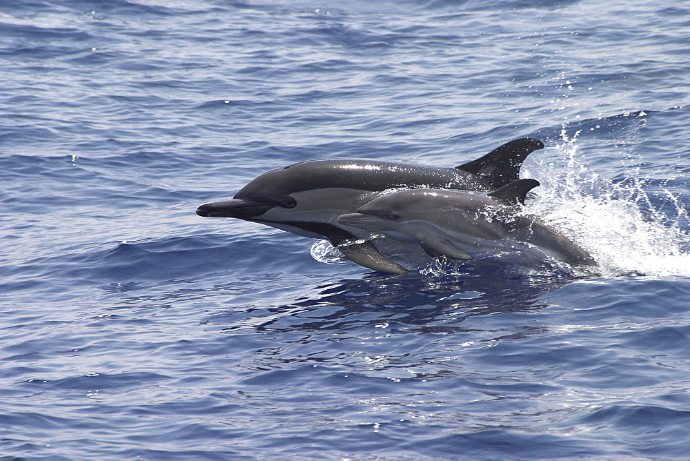 Short-Beaked Common Dolphin, Delphinus delphis, mother and calf leaping together off the Azores Islands   (RR) - 969-91