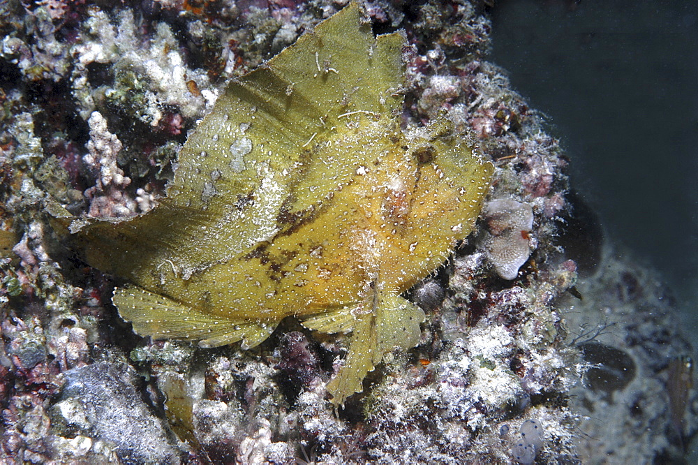 Leaf fish (Taenianotus triacanthus) yellow member of scorpeonfish family showing much detail, Mabul, Borneo, Malaysia