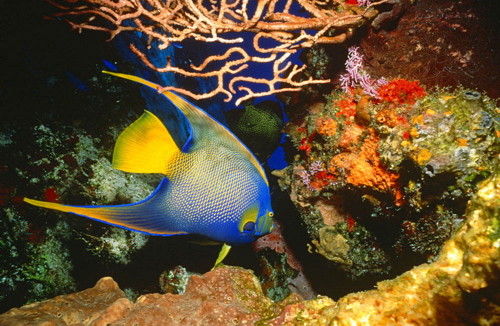 Queen Angelfish (Holacanthus ciliaris). Brightly coloured adult swimming against a coral background, Cozumel, Mexico, Caribbean
