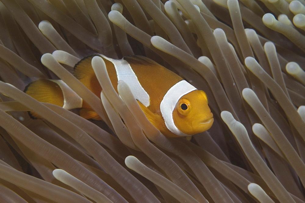Clown Anemonefish (Amphiprion percula), Nemo type clownfish amidst anemone's tentacles, Sipidan, Mabul, Malaysia, South China Sea