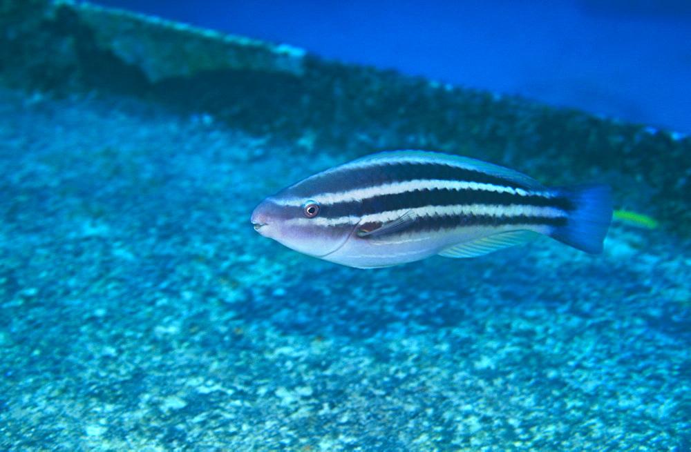 Juvenile Princess Parrot Fish (Scarus toeniopterus), Bermuda. - 970-173