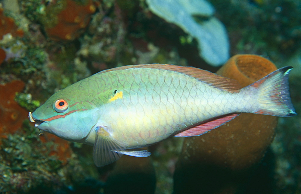 Redband parrotfish (Sparisoma aurofrenatum),swimming mid picture with sponges behind,  Bahamas, Caribbean