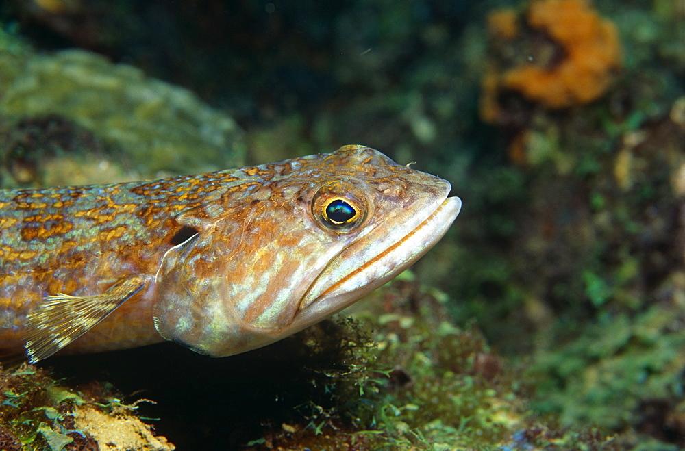 Lizardfish (Synodus sp). St Lucia.