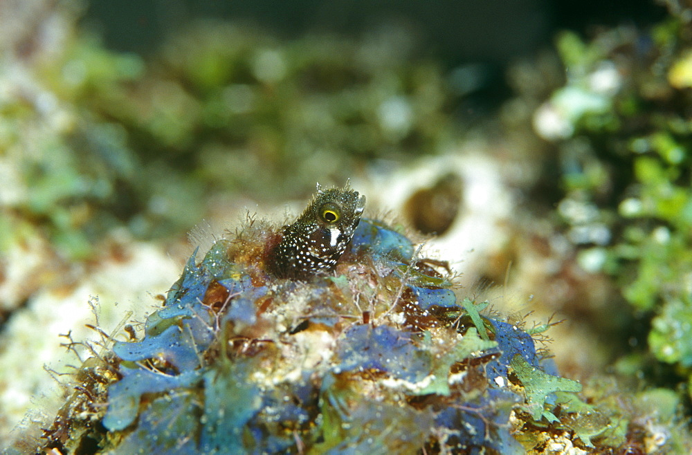 Roughhead Blenny. Cayman Islands. - 970-193