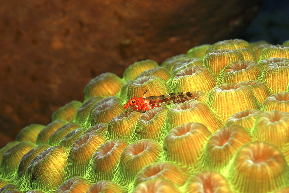 Triplefin blenny (Enneanectes boehlkei). vivid red on irridescent yellow and green hard coral, Cayman Islands, Caribbean