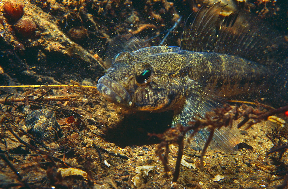 Black Goby (Gobius niger), muddy bottom background from Valletta Harbour, Malta, Mediterranean