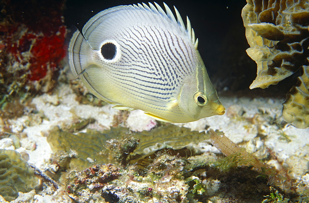 Foureye Butterflyfish (Chaetodon capistratus). Full side view shot with clear markings, Bermuda, Western Atlantic