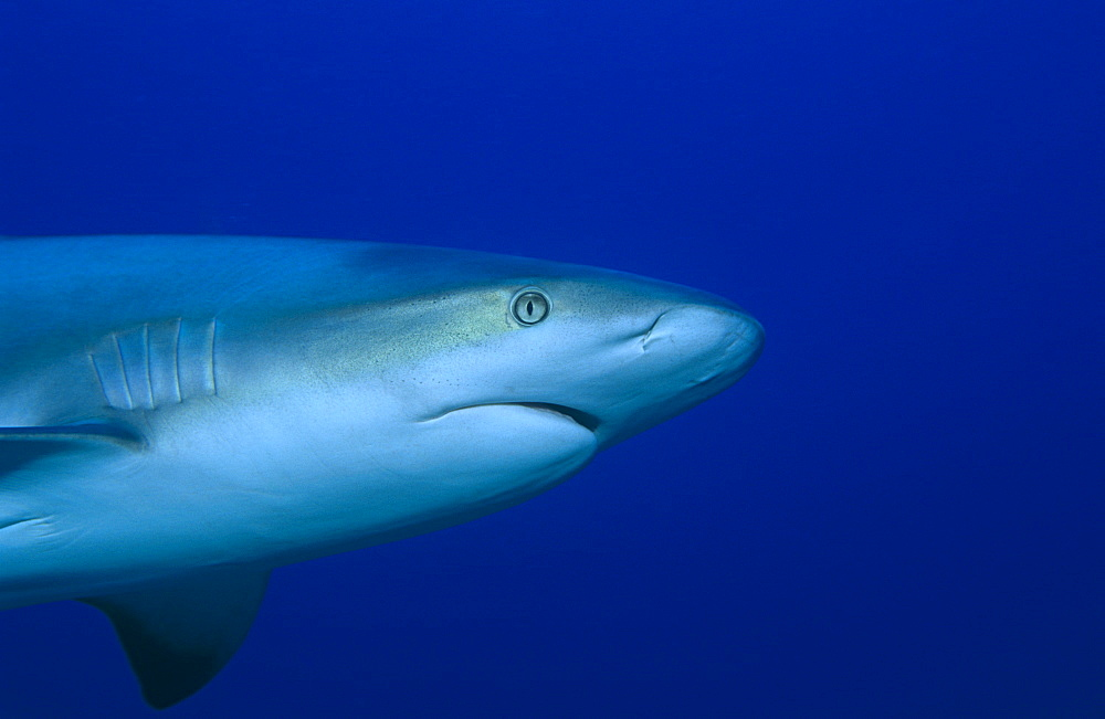Caribbean reef shark (Carcharhinus perezii), detail of head as shark swims from left to right in half frame,  Bahamas, Caribbean.
