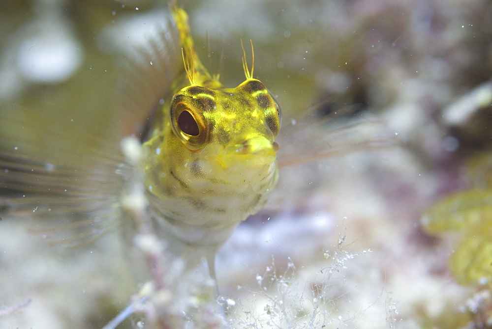 Diamond Blenny (Malacoctenus boehlkei) resting on corals nearby anemone, Cayman Islands, Caribbean - 970-311