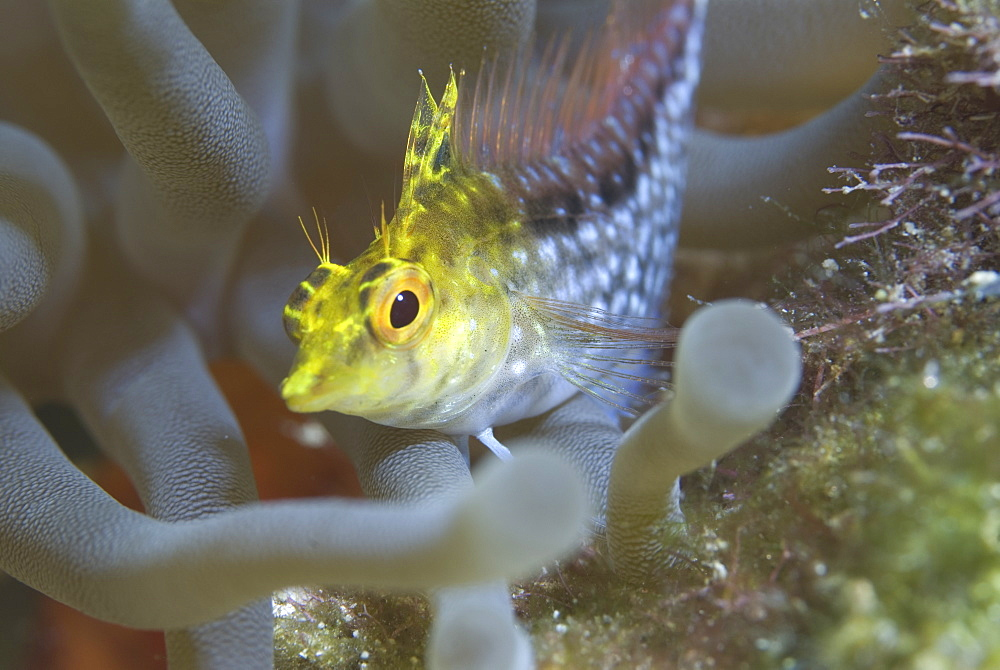 Diamond Blenny (Malacoctenus boehlkei) resting on corals nearby anemone, Cayman Islands, Caribbean