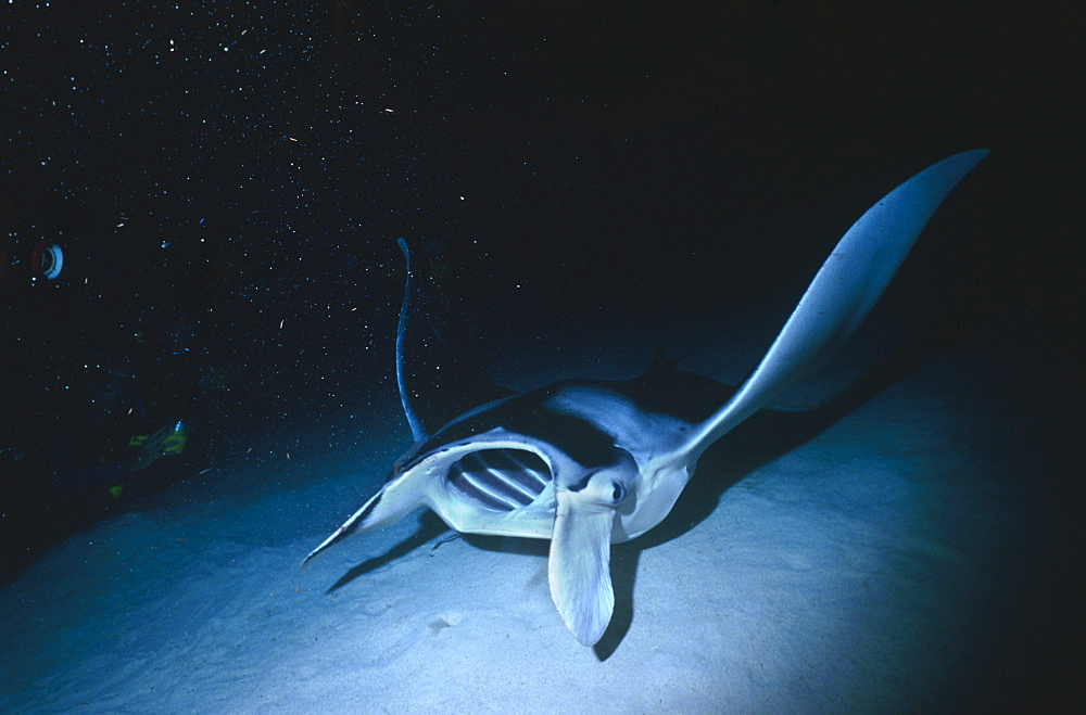 Manta ray (Manta birostris) feeding at night, Cayman Islands, Caribbean.