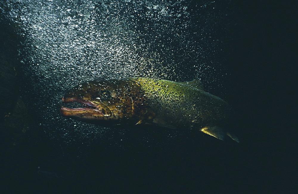 Salmon (Salmo salar),  under waterfall, Scotland, UK