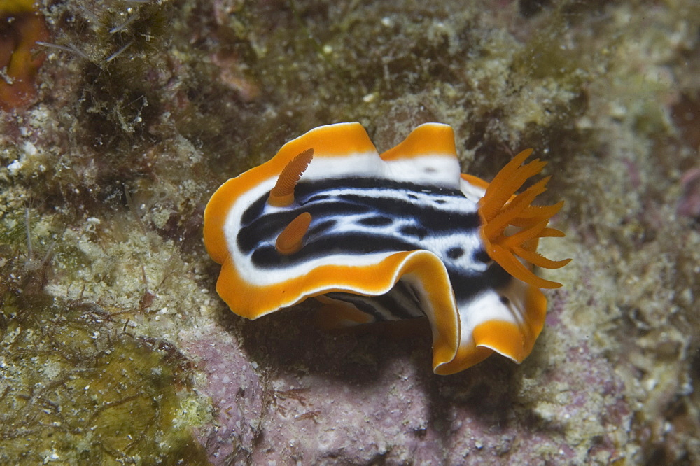 Colourful Nudibranch Chromodoris magnifica), orange, black & white coloured nudibranch, very clear view from above, Sipidan, Mabul, Malaysia.