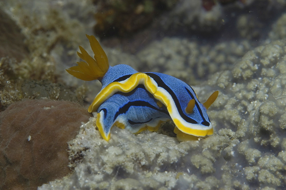 (Chromodoris annae) Nudibranch with brilliant blue and yellow skirt and orange tentacles, Mabul, Borneo, Malaysia, South China Sea - 970-418