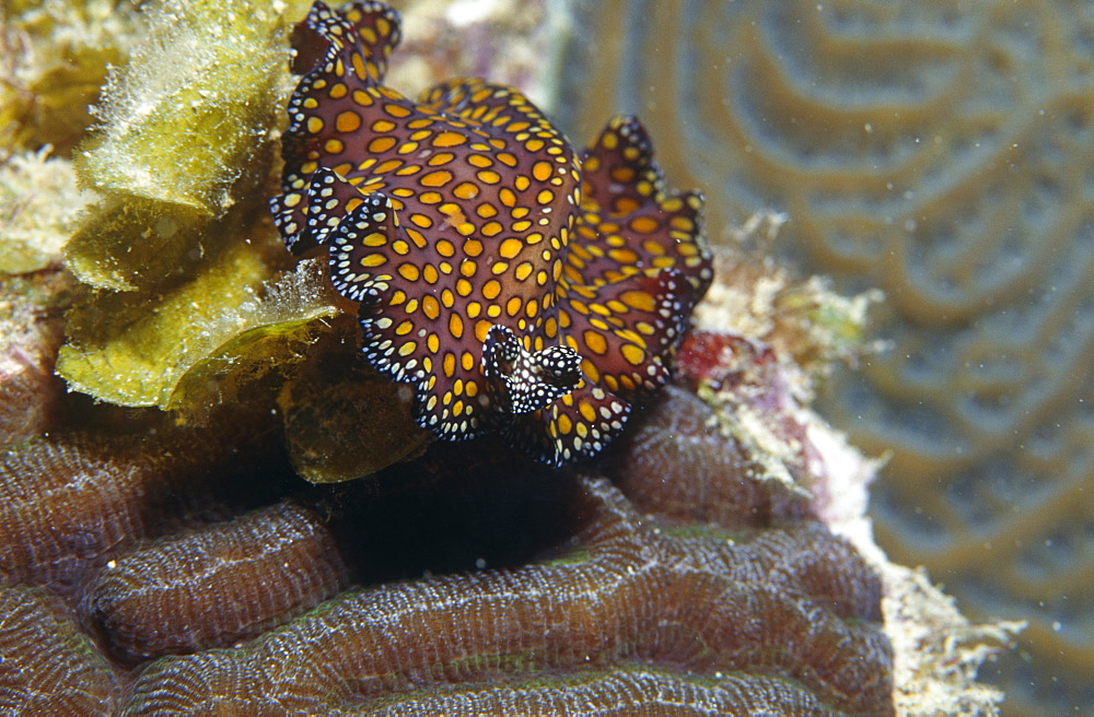 Leopard flatworm (Pseudobiceros pardalis), crawling over corals with head facing front, Cayman Islands, Caribbean