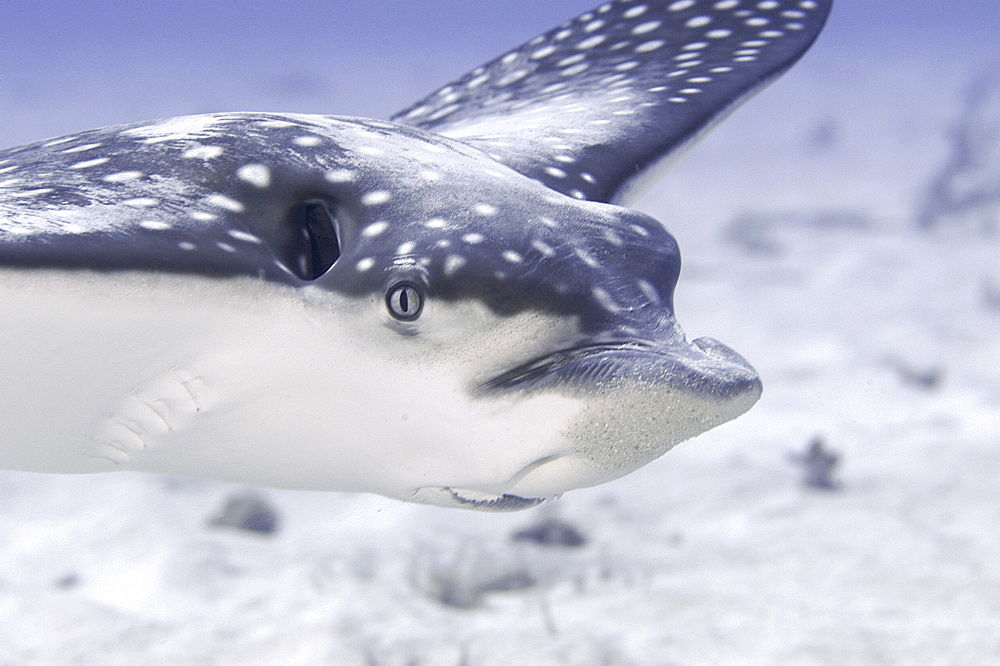Eagle Ray (Aetobatus narinari) detail showing head and swimming action, Cayman Brac, Cayman Islands, Caribbean