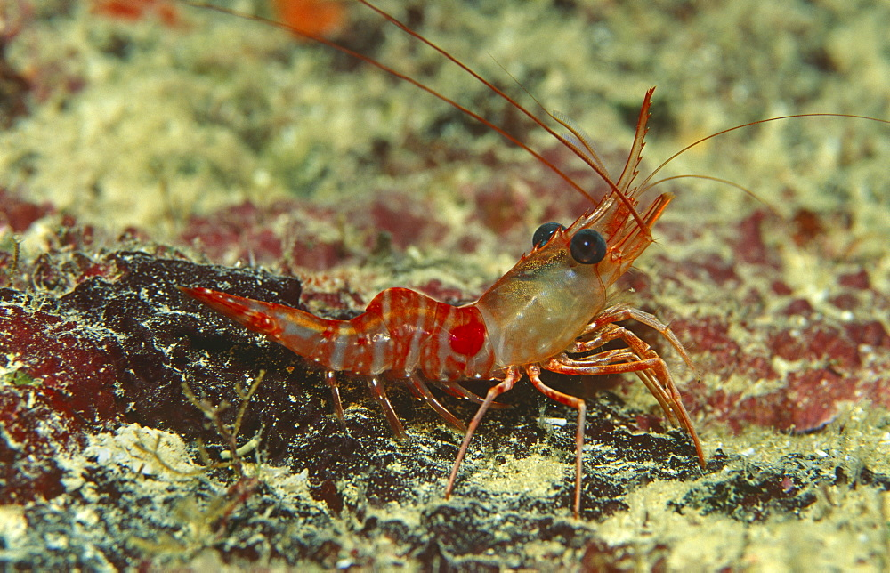Red night shrimp (Rhynchocinetes rigons) Clear view of shrimp sitting on coral, Cayman Islands, Caribbean.