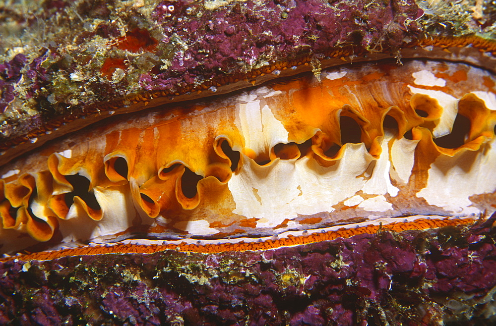 Variable Thorny Oyster (Spondylus varians), open and feeding showing multi-coloured mantle, Sipadan, Malaysia